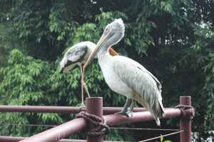 white and grey pelican perched on red railing